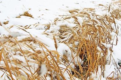 погибший урожай пшеницы