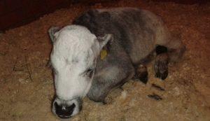 сибирская язва у коров