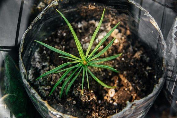 росток хвойного дерева