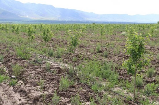 яблоневые сады в Туркестане