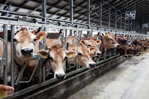 молочно-товарная ферма