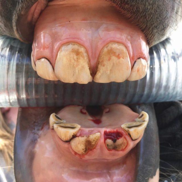 Потеря зубов у лошади трехлетки