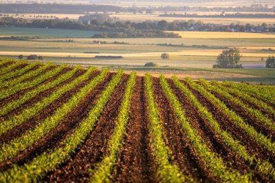Урожай кукурузы в США сейчас на 92% генетически модифицирован