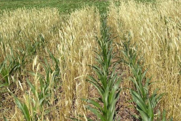 кукуруза плюс рожь как покровная культура