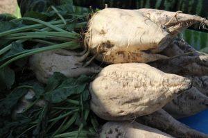 Свекловоды Жамбыльской области получили рекордный урожай