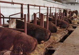 племенное животноводство