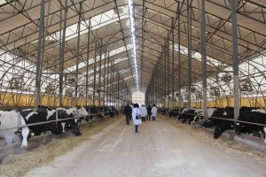 Молочная ферма в ЮКО вышла на проектную мощность
