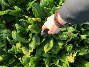 NIRS-анализ растений шпината непосредственно в поле