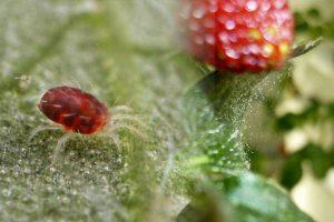Tetranychus urticae - паутинный клещ