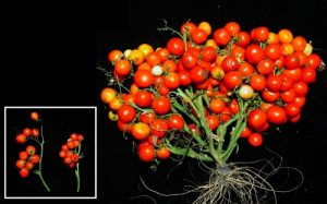 новый сорт помидоров для города