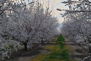 цветущий миндальный сад