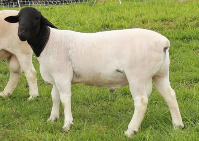 овца породы дропер