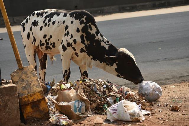 корова ест пластик
