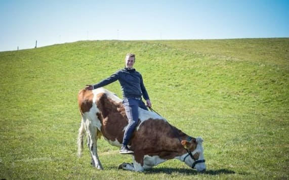 корова делает поклон