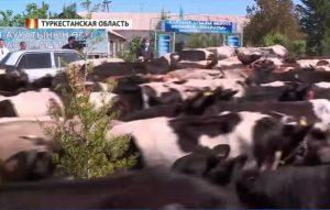 коровы у акимата