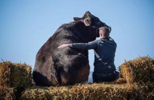 Маркус Хольцманн и его корова