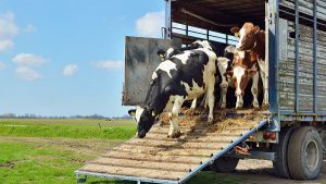 экспорт коров