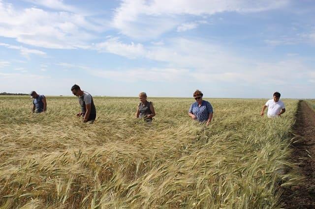посевы твердой пшеницы
