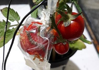 процесс исследования помидора