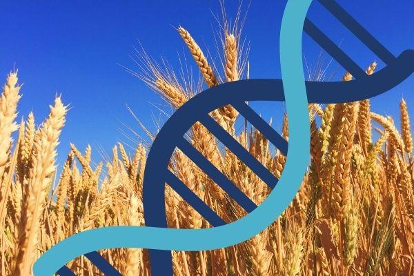 Редактирование генов пшеницы