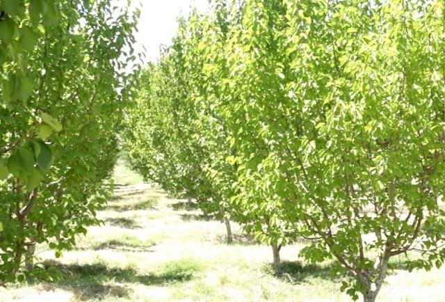 сад в Кызылординской области