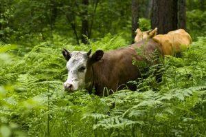 Выпас коров в лесу